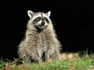HOW YOU CAN REPEL RACCOONS FROM YOUR HOME