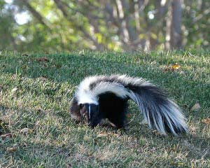HOW TO ADDRESS A SKUNK PROBLEM EFFECTIVELY IN YOUR HOME