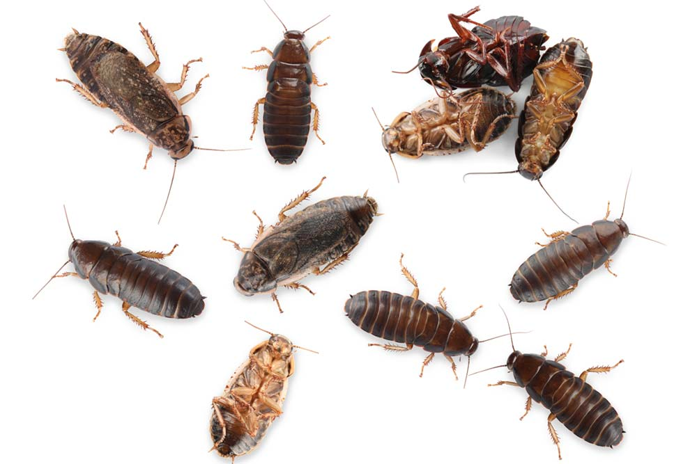 Cockroach Removal