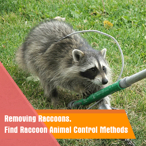 Removing Raccoons: Find Raccoon Animal Control Methods
