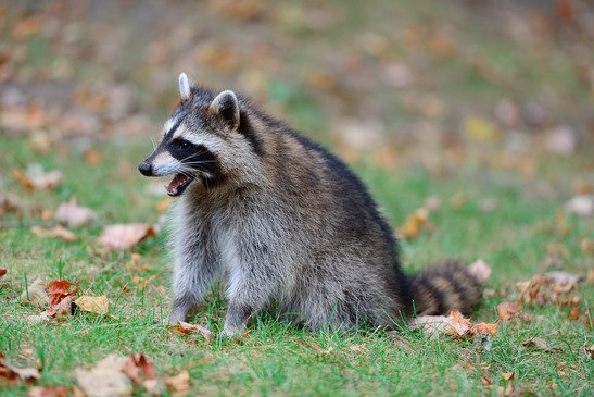 Self-Service Guide for Raccoon Removal in Toronto