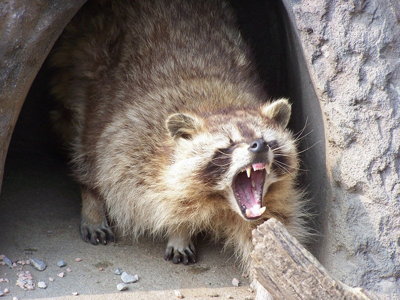 Raccoon Removal in Toronto: Effective Ways to Deal with a Raccoon Invasion