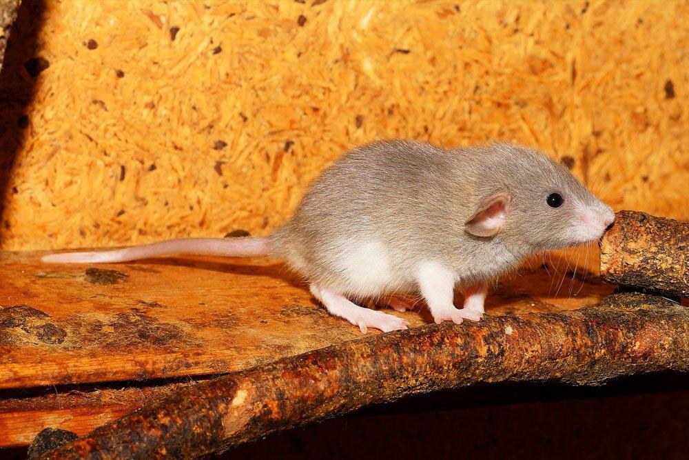 Rat & Mice Removal